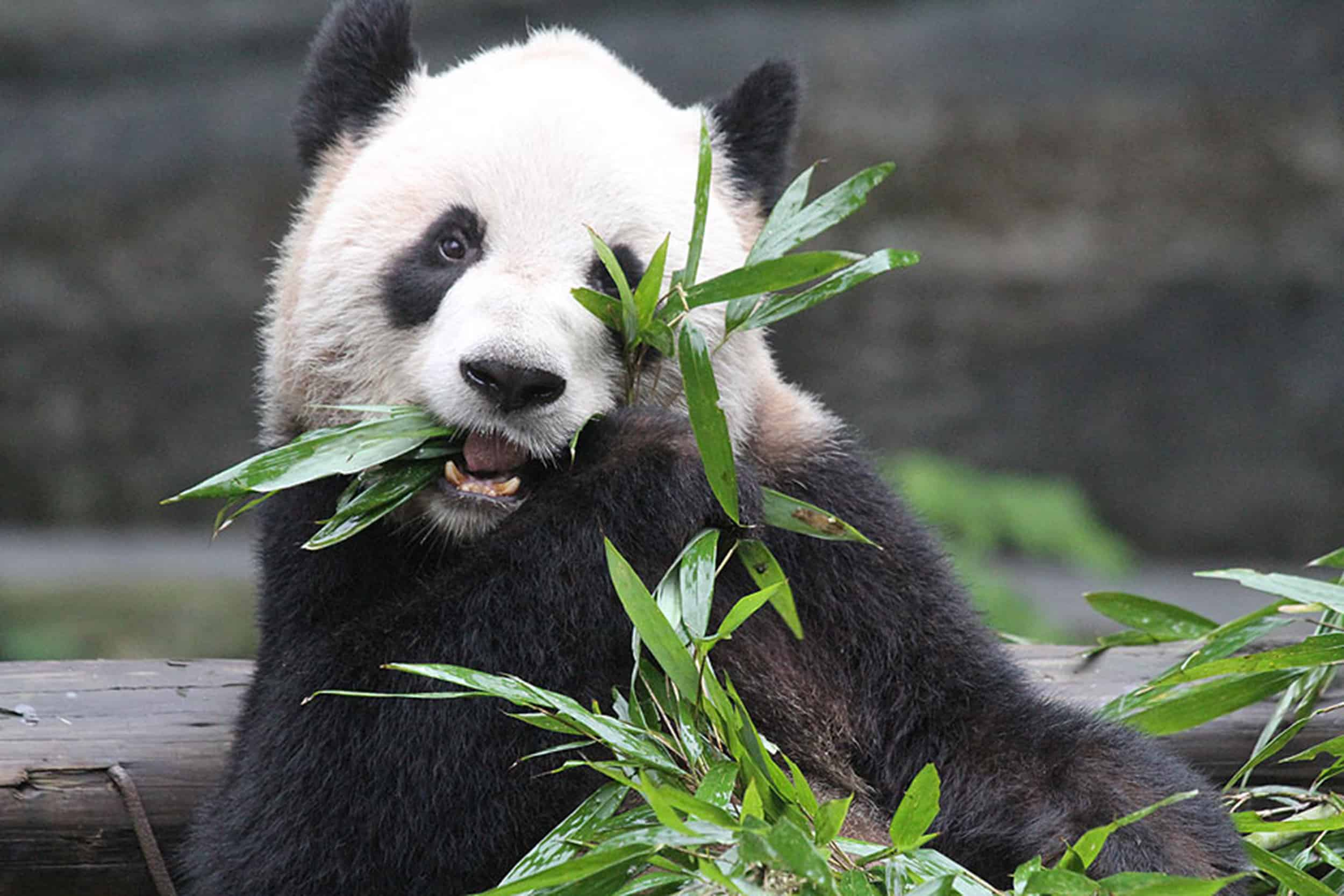 Zoo's New Pandas A Unique Opportunity For Scarborough