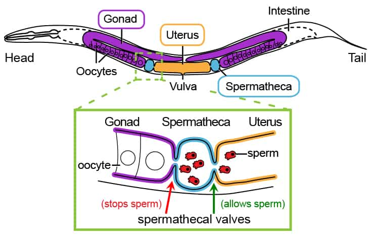 Killer Sperm Help Maintain Species Barrier The Varsity