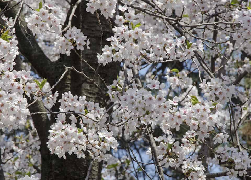 Robarts cherry blossoms to temporarily relocate