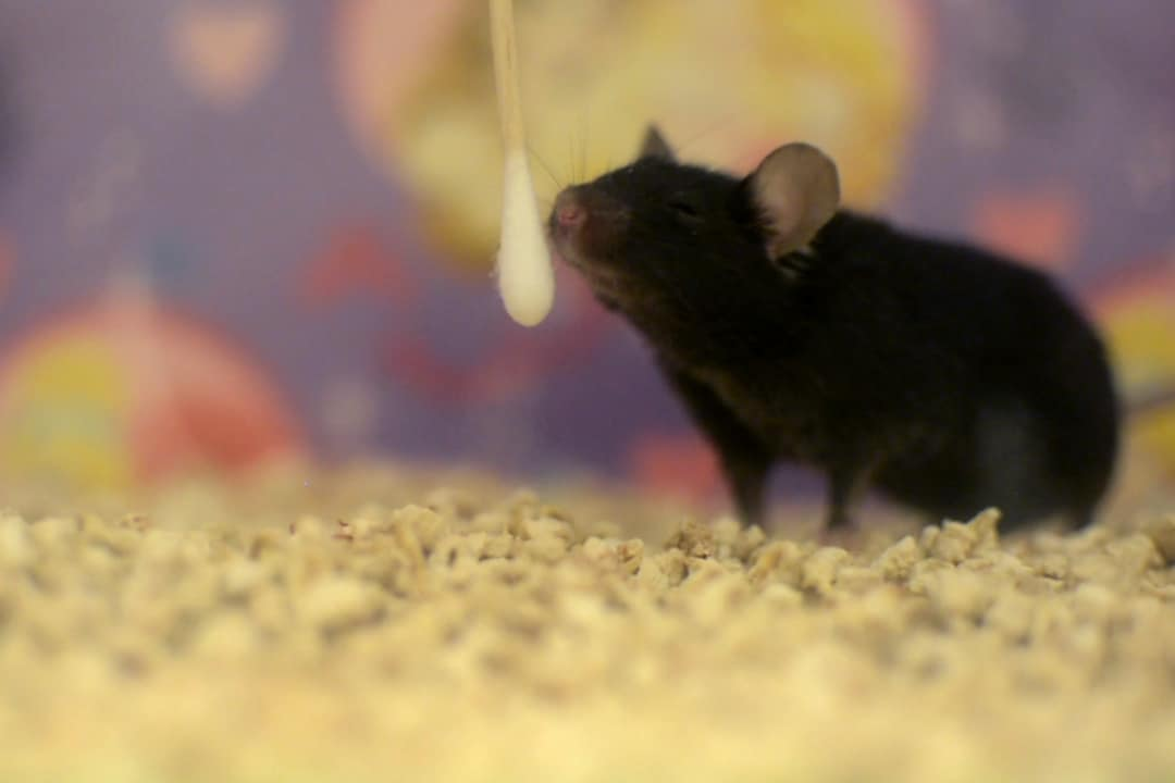 A mouse investigates a cotton swab for a familiar scent. PHOTO COURTESY OF AFIF AQRABAWI