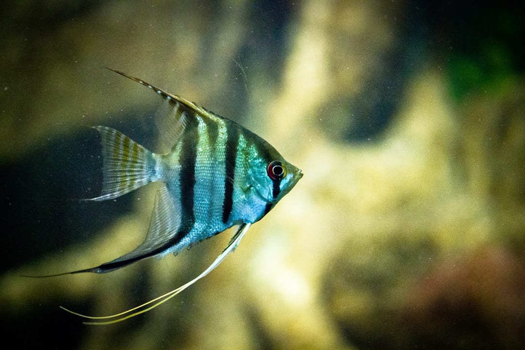 Angelfish are smarter than you think. YU-CHAN CHEN/CC FLICKR